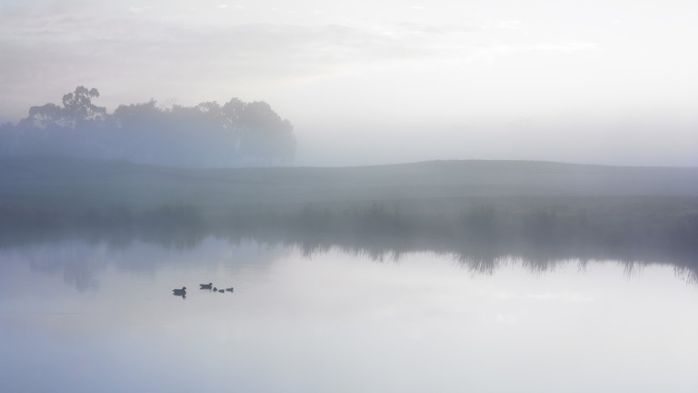 Duck on misty pond