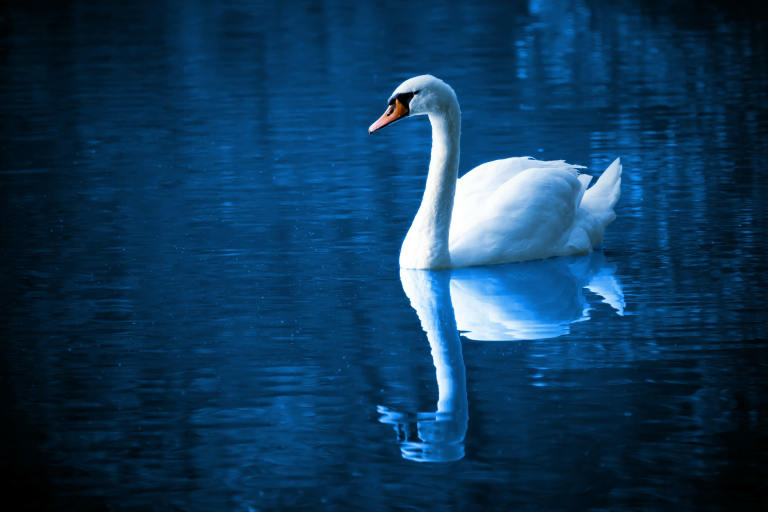 Swan on large country lake